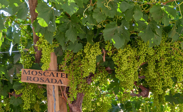 Moscatel (Muscat) is a sweet and intense portuguese wine